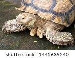 Stock photo african spurred tortoise sulcata tortoise 1445639240