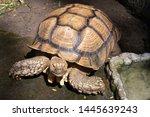 Stock photo african spurred tortoise sulcata tortoise 1445639243