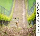 Stock photo running hare in a vineyard 1445747666