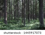 Small photo of pine thicket. Forest thicket, pine trees in the forest. Saint Petersburg region Russia, Toksovo. Dark creepy pine forest. Mystic spooky deep evergreen woods background. wilderness landscape