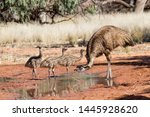 Male Emu With Chicks Drinking...