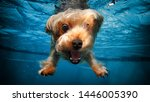 Stock photo puppy dog diving in water with smile and puppy enjoying swim 1446005390