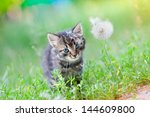 Stock photo little kitten on the grass near dandelion 144609800