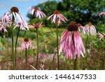 Echinacea Pallida  The Pale...