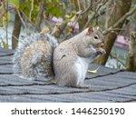 Grey Squirrel Sitting On...