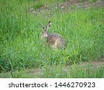 Stock photo european hare lepus europaeus also known as the brown hare sitting in a grass meadow and eating 1446270923