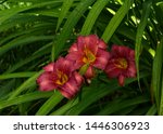 Three Red Lillies In Shade