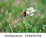 Bumblebee On The White Clover...
