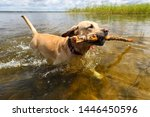 Stock photo the dog is played with a stick in the clear water of the lake 1446450596