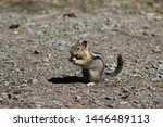 Chipmunk eating and nibbling at Lemolo Lake