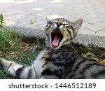 Stock photo sleepy kitten is yawning same time see pink tongue of kitten 1446512189