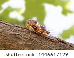 Insect cicadidae family of...