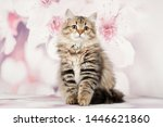 Stock photo siberian cats and kittens on beautiful neutral background perfect for postcards 1446621860