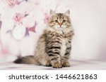 Stock photo siberian cats and kittens on beautiful neutral background perfect for postcards 1446621863