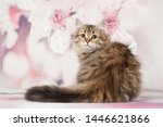 Stock photo siberian cats and kittens on beautiful neutral background perfect for postcards 1446621866