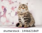 Stock photo siberian cats and kittens on beautiful neutral background perfect for postcards 1446621869