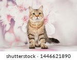 Stock photo siberian cats and kittens on beautiful neutral background perfect for postcards 1446621890