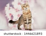 Stock photo siberian cats and kittens on beautiful neutral background perfect for postcards 1446621893