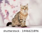 Stock photo siberian cats and kittens on beautiful neutral background perfect for postcards 1446621896