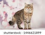 Stock photo siberian cats and kittens on beautiful neutral background perfect for postcards 1446621899
