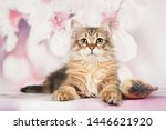 Stock photo siberian cats and kittens on beautiful neutral background perfect for postcards 1446621920