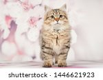 Stock photo siberian cats and kittens on beautiful neutral background perfect for postcards 1446621923