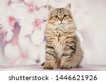 Stock photo siberian cats and kittens on beautiful neutral background perfect for postcards 1446621926
