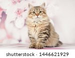 Stock photo siberian cats and kittens on beautiful neutral background perfect for postcards 1446621929