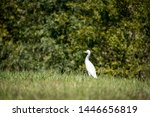 The Great Egret  Ardea Alba  ...