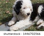Two Old English Sheepdog...