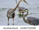 Close up of heron with two other great blue herons fish behind it, Witty