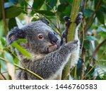 Loveable Appealing Young Koala...
