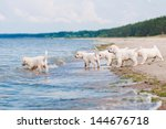 Stock photo group of golden retriever puppies on the beach 144676718