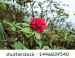 red azalea flower at kiw mae... | Shutterstock . vector #1446839540