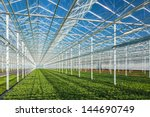 Rows Of Young Geranium Plants...