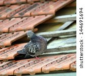 Male Pigeon Standing On A...