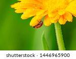 seven spot ladybird  coccinella ...   Shutterstock . vector #1446965900