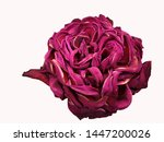 Stock photo dried up not fresh red rose isolated on white background 1447200026