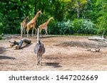 Zebra And Three Giraffes In The ...