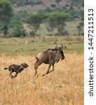Small photo of TANZANIA,SERENGETI NATIONAL PARK JULY 2,2019;The wolves group in its excursion of prey see a wildebeest graze,They chase it,eventually being tired of running,seize his back legs bite glans and kill it
