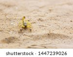 Yellow Deathstalker scorpion with a bent tail closeup on sand in the desert
