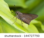 monk skipper butterfly on green ... | Shutterstock . vector #144727750
