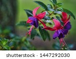 Beautiful Fuchsia Plant....