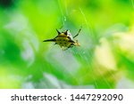 Spiny Orb Weaver In Nature Can...