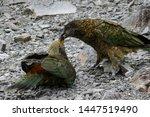 A Kea Is Feeding