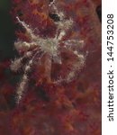 Small photo of Crab achaeus spinosus in red sea