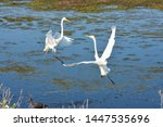 Great Egrets Fighting At...