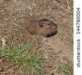 Small photo of Botta's Pocket Gopher peeks out of its burrow