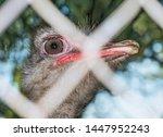 Ostrich Portrait Close Up....