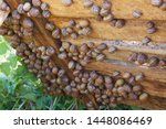 Stock photo helix aspersa muller maxima snail organic farming snail farming edible snails on wooden snails 1448086469